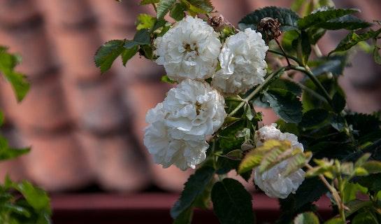 Hvite blomster fra hagen i Dokken.